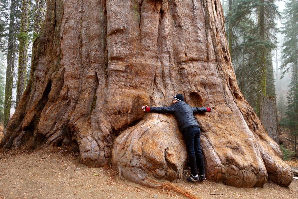 Folkstar with a Giant Sequoia