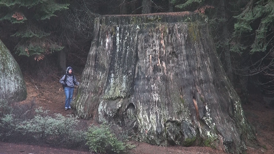 Folkstar with Sequoia Stump
